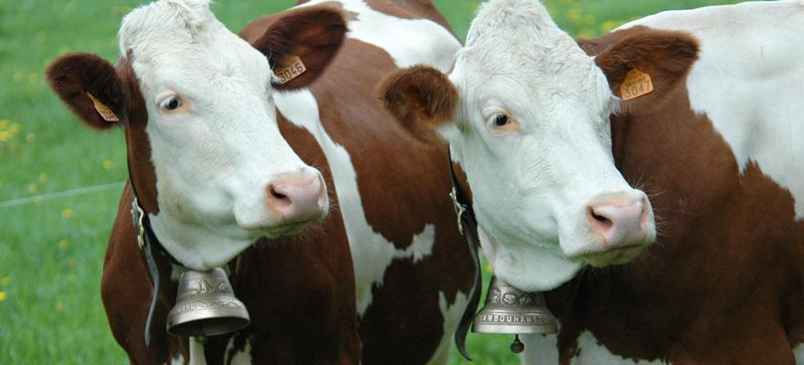 Cloches de vaches